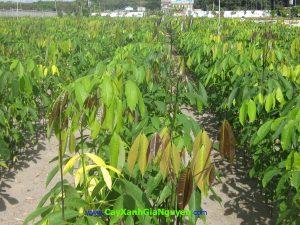 cao su, lợi nhuận kinh tế, nguồn chủ lực, nhựa cây, nhựa mủ cây cao su