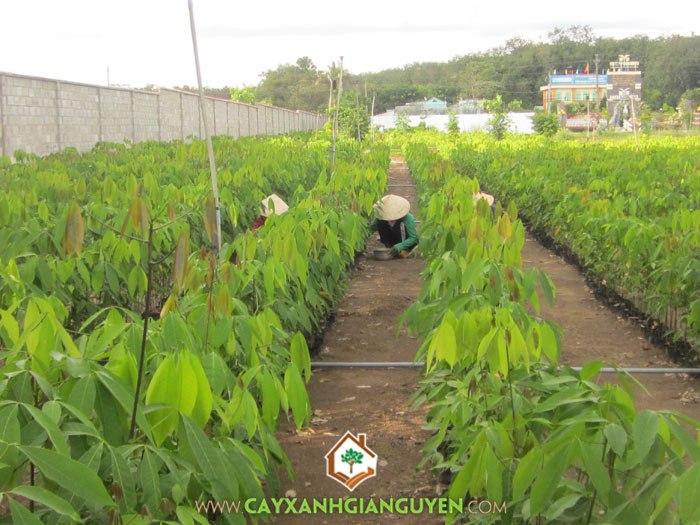 cây cao su, cây rừng, cây công nghiệp, cây lâm nghiệp, mủ cao su, BÌnh Phước