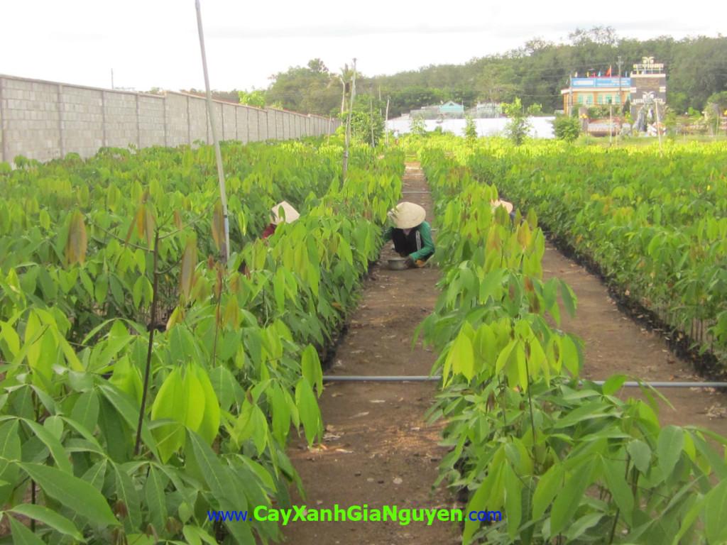 Trồng cây Cao su, lợi ích về kinh tế, khắc phục và bảo dưỡng, phương án lâu dài, ngã đổ