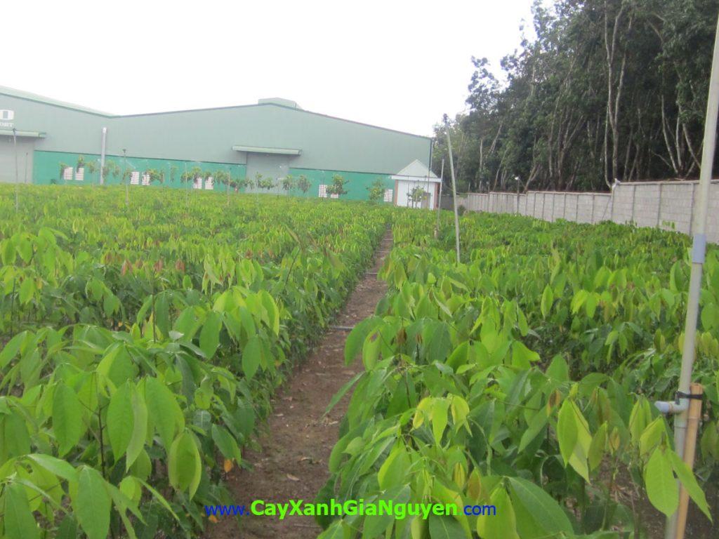 thu nhập thụ động, trồng cây lâm nghiệp, đầu tư,, dòng tiền, cà phê