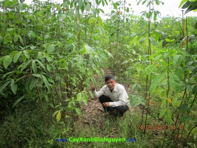 cây giống cao su, cây giống, ươm giống, cây cao su, cưa gốc, công ty Gia Nguyễn