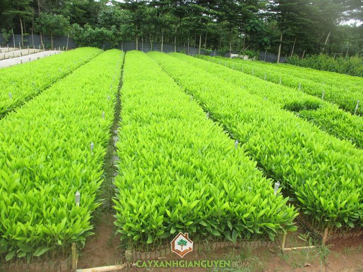Keo lai, Acacia auriculiformis mangium , Acacia hybrid, cây giống lâm nghiệp, cây xanh gia nguyễn