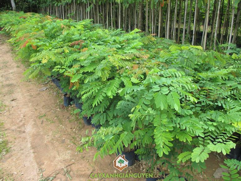 Cẩm lai, trắc lai, Dalbergia bariaensis Pierre, cây giống lâm nghiệp, cây xanh gia nguyễn