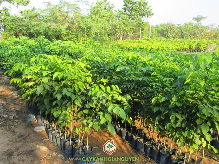 Cây Hương, Pterocarpus macrocarpus Kurz, giáng hương, cây giống lâm nghiệp, dáng hương