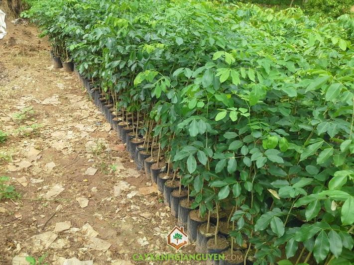 Hổ bì, cà te, gõ đỏ, Afzelia xylocarpa, cây giống lâm nghiệp, cây xanh gia nguyễn