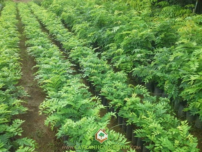 Sưa Đỏ, trắc thối, Huê mộc vàng, Huỳnh đàn, Dalbergia tonkinensis (Prain)