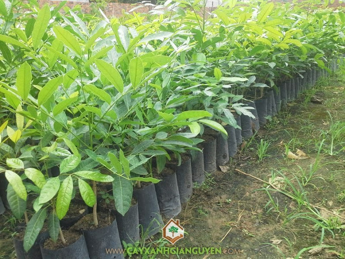 Xà cừ, Sọ khỉ,  Khaya senegalensis, cây giống lâm nghiệp, cây xanh gia nguyễn