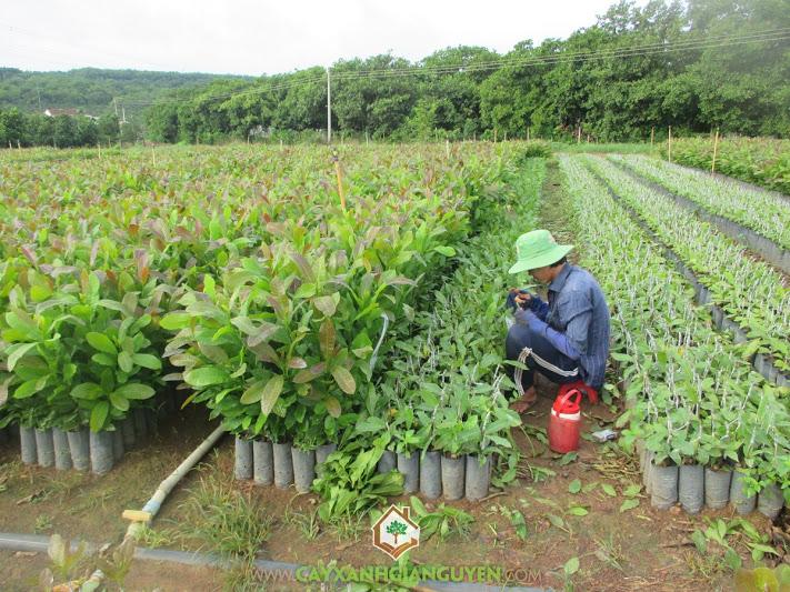 Điều, Đào lộn hột, Anacardium occidentale L, cây giống lâm nghiệp, Cây Xanh Gia Nguyễn