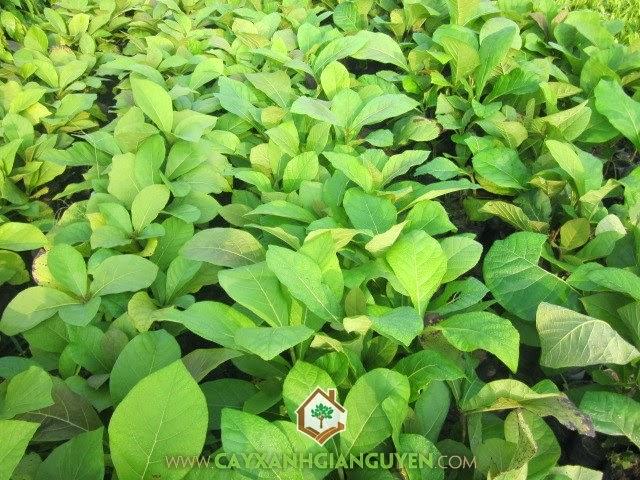 Tếch, Giá tỵ, Tectona grandis, cây giống lâm nghiệp, cây xanh gia nguyễn
