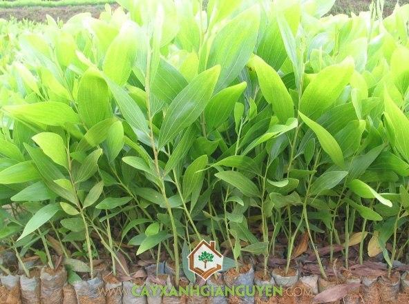 Keo lai, Acacia auriculiformis mangium , Acacia hybrid, cây công trình, cây giống lâm nghiệp, cây xanh gia nguyễn