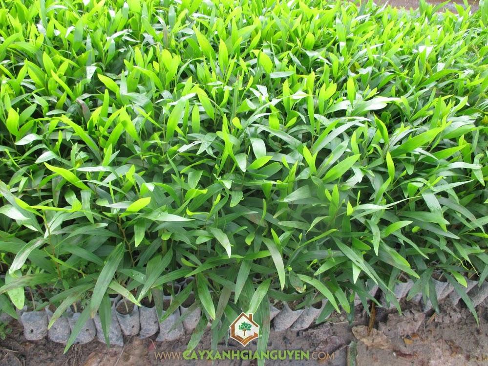 Keo Lá Tràm, Tràm Bông Vàng, Cây Giống Lâm Nghiệp, Cây Keo, Acacia Auriculiformis