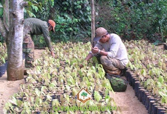 ca cao, Theobroma cacao, cây ca cao, cây giống lâm nghiệp, cây xanh gia nguyễn