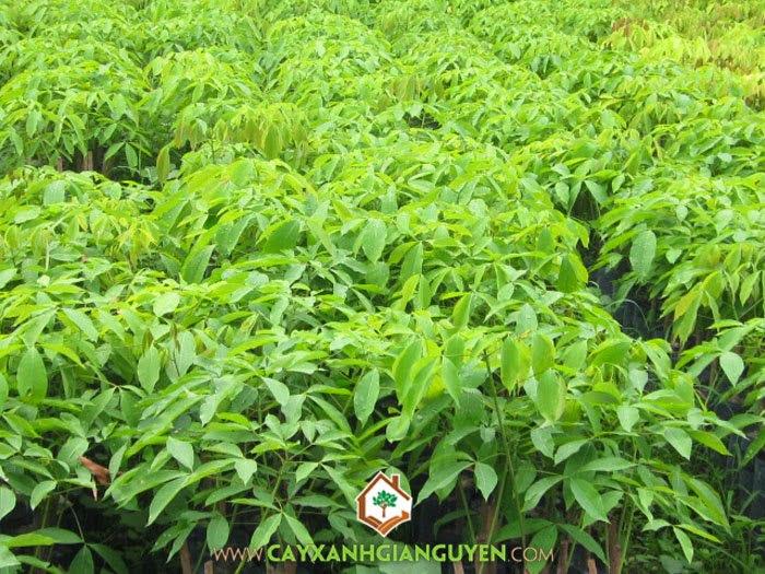 Cao su, Hevea brasiliensis , cây cao su, cây giống lâm nghiệp, Cây Xanh Gia Nguyễn