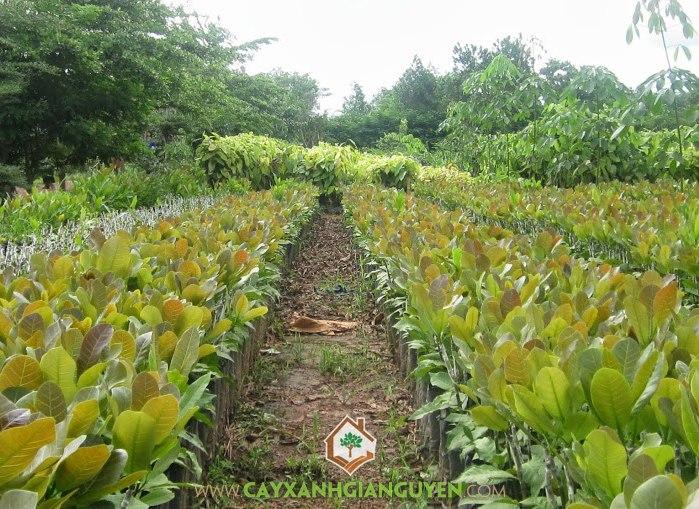 Điều, Đào lộn hột, Anacardium occidentale L, cây điều, cây giống lâm nghiệp