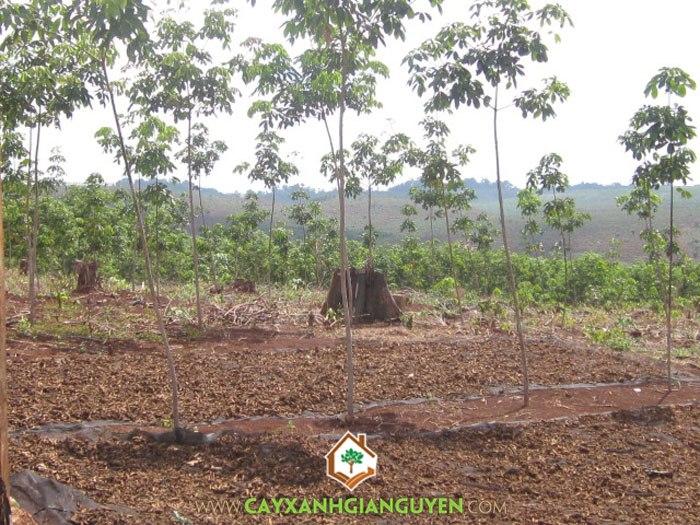 cao su, cây công nghiệp, trồng cây cao su, đất thích hợp trồng cao su, cây cao su