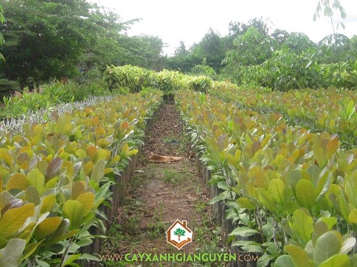 cây điều, cây cao su, cây công nghiệp, mủ cao su, cây lâu năm, trồng cây