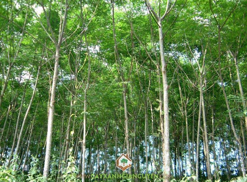 Xoan Đào, Cáng Lò, Betula Alnoides, Cây Giống Lâm Nghiệp, Cây Xanh Gia Nguyễn
