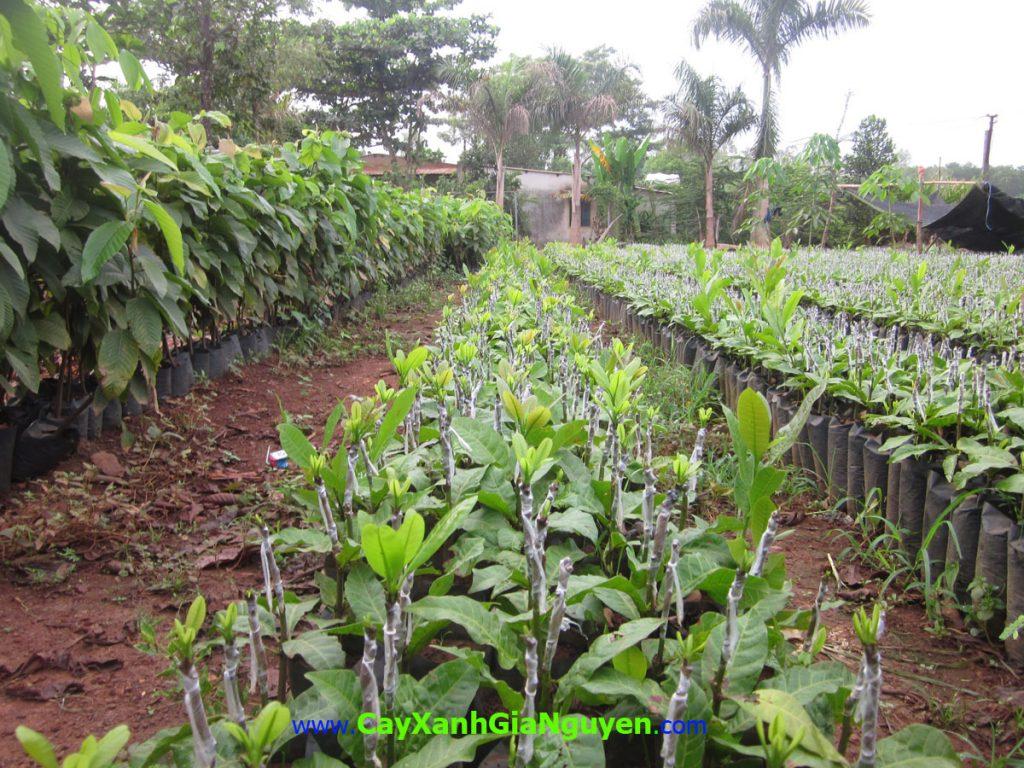Cây điều giống, Cây Xanh Gia Nguyễn, cây điều, trồng điều, cây giống