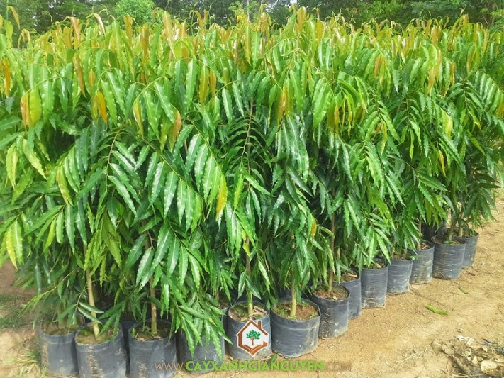 Hoàng Nam, Huyền Diệp, Hoàng Lan, Liễu Ấn Độ, Polyalthia Longifolia