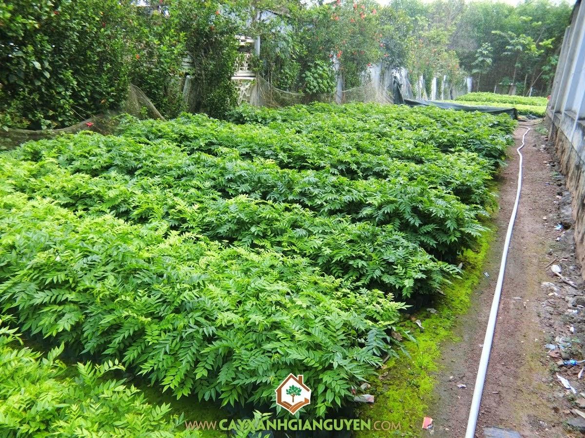 Cây Xanh Gia Nguyễn, cây giống,  cây sưa đỏ, gỗ sưa, cây lâm nghiệp, cây xanh