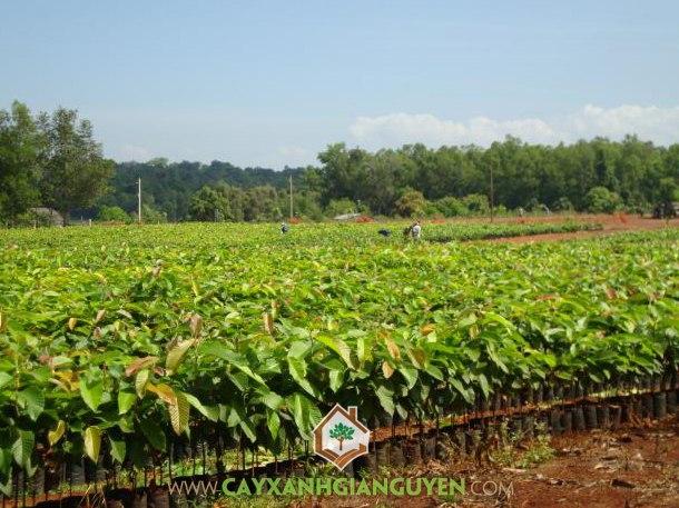 cây lâm nghiệp, cây giống lâm nghiệp, trồng rừng, nguyên liệu