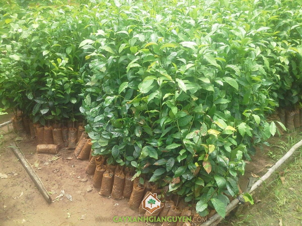 Camellia Sinensis, Trà Xanh, Chè Xanh, Cây Giống Lâm Nghiệp, Cây Xanh Gia Nguyễn