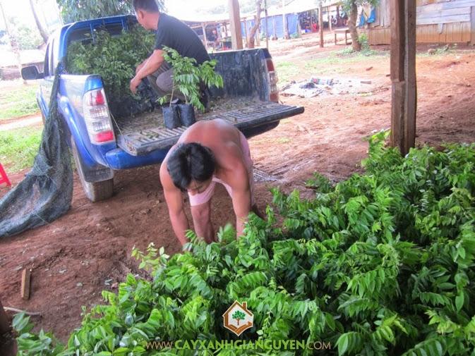 Cây Xanh Gia Nguyễn cung cấp cây Sưa Đỏ cho khách hàng ở Đắc Nông.