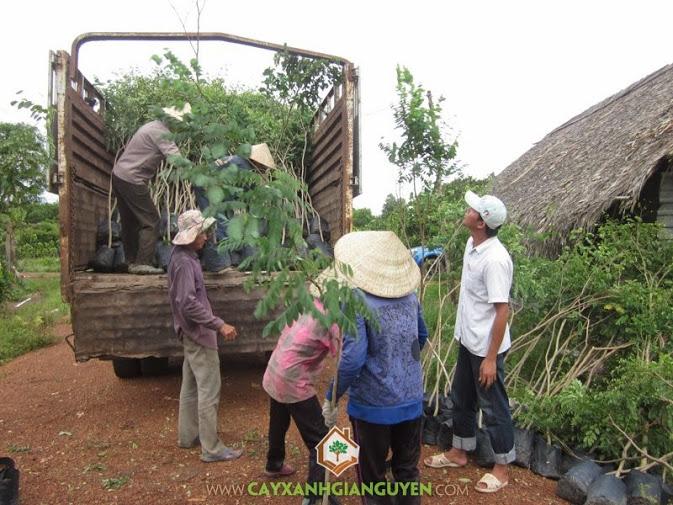 Cây Xanh Gia Nguyễn cung cấp cây Cẩm Lai ở Cần Thơ