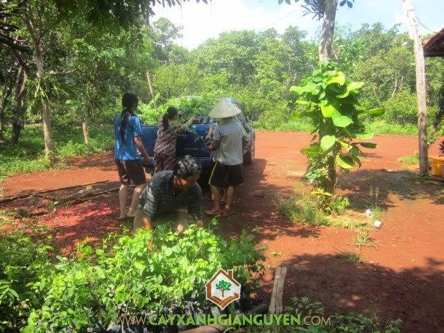 Cây Xanh Gia Nguyễn cung cấp cây Sưa Đỏ, Cẩm Lai cho khách hàng.
