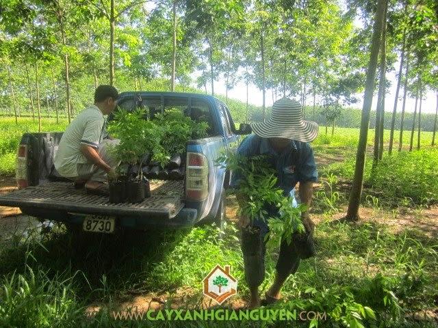 Cây Sưa Đỏ tại vườn ươm Cây Xanh Gia Nguyễn