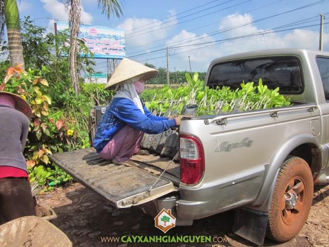 cung-cap-cay-dieu-giong-tai-vuon-uom-cay-xanh-gia-nguyen