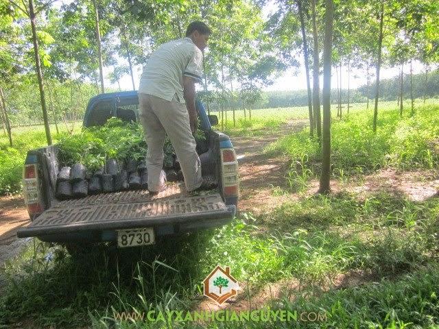 Cung cấp cây Sưa Đỏ cho khách hàng ở Bình Phước