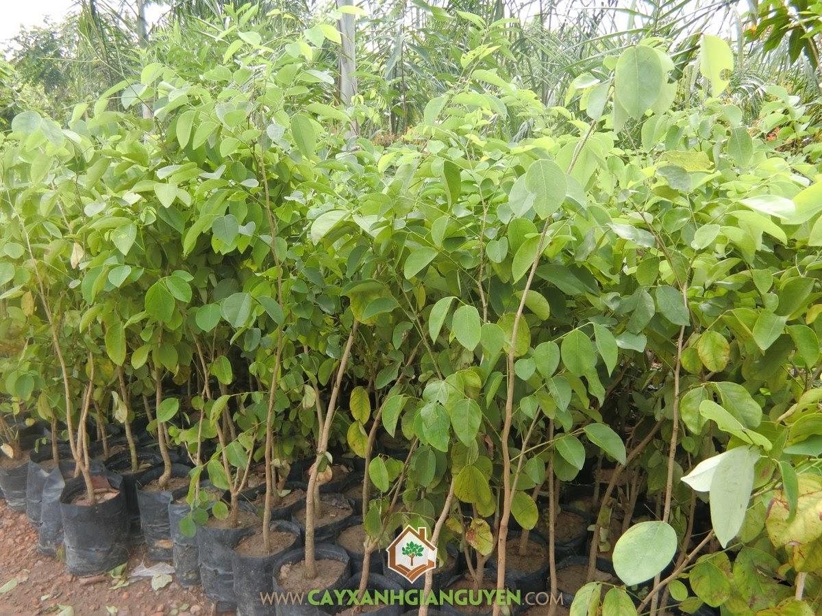 Dalbergia Cochinchinensis, Gỗ Trắc, Trắc Đỏ, Cẩm Lai Nam Bộ, Cây Giống Lâm Nghiệp