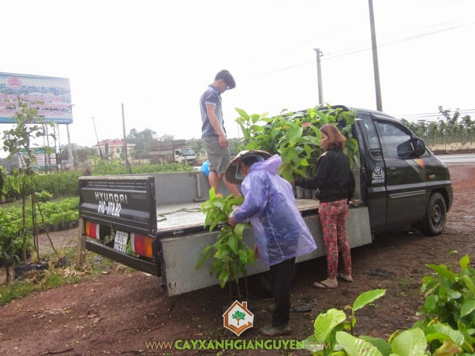 Cung cấp cây giống cho khách hàng.