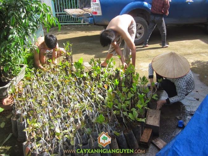 Cây Xanh Gia Nguyễn cung cấp cây giống cho khách hàng.