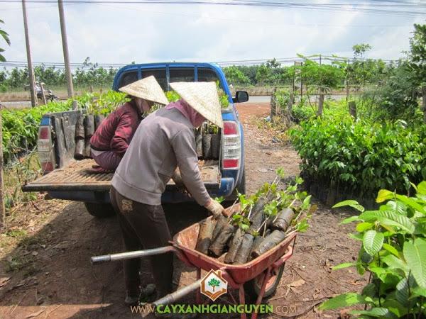Cây Xanh Gia Nguyễn cung cấp cây Điều giống cho khách hàng