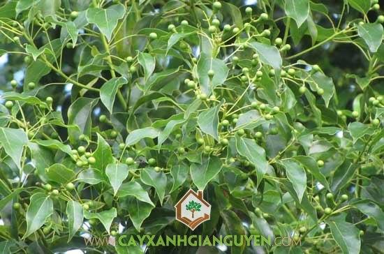 Cây Long Não tại vườn ươm Cây Xanh Gia Nguyễn.