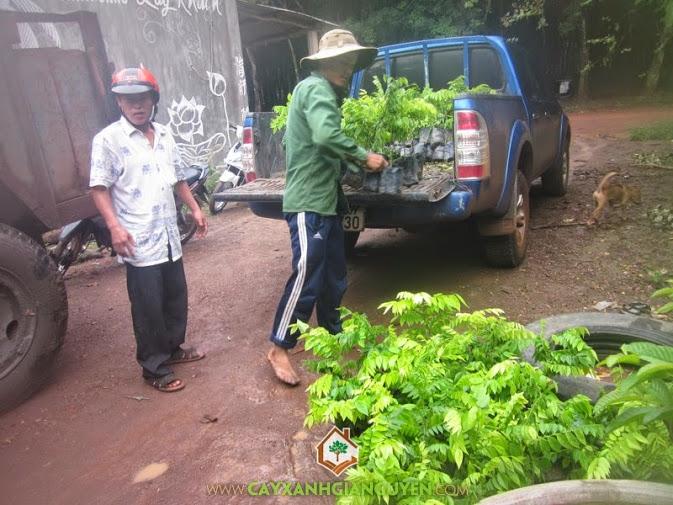 Cây Xanh Gia Nguyễn cung cấp cây Sưa Đỏ cho khách hàng.