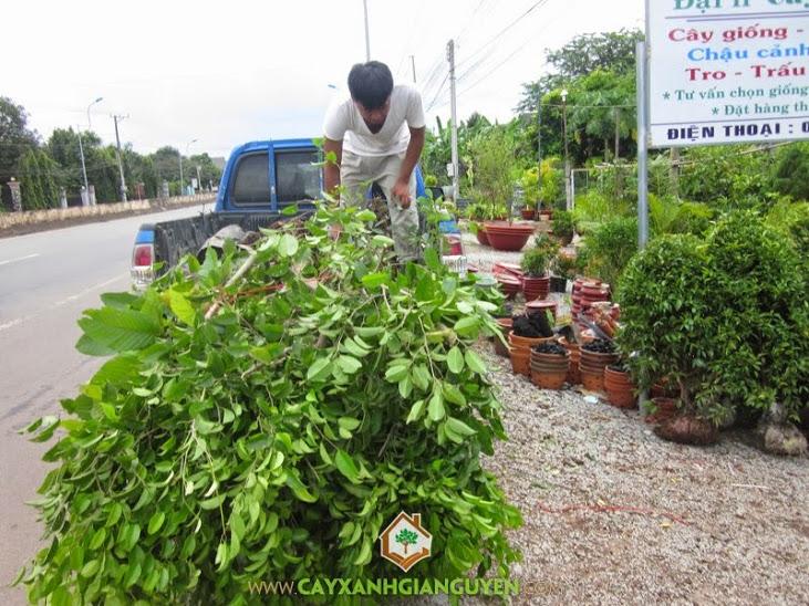 Cung cấp cây giống lâm nghiệp ở Bình Dương.