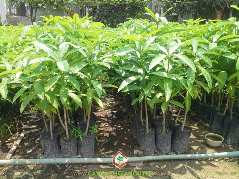 Cây Giống, Cung Cấp Cây Giống, vườn ươm Cây Xanh Gia Nguyễn, Cây Giống Lâm Nghiệp, Cây Hoa Sữa