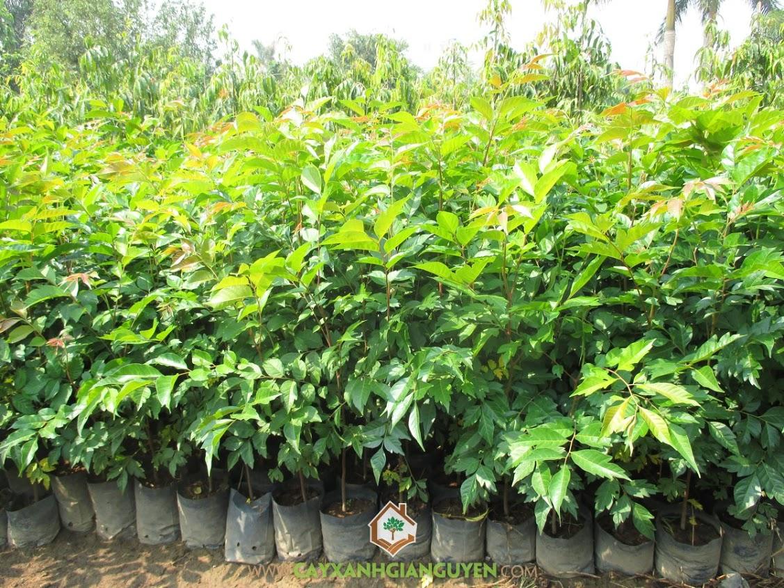Lát Hoa, Chukrasia Tabularis, Cây Giống Lâm Nghiệp, Cây Công Trình, Cây Xanh Gia Nguyễn