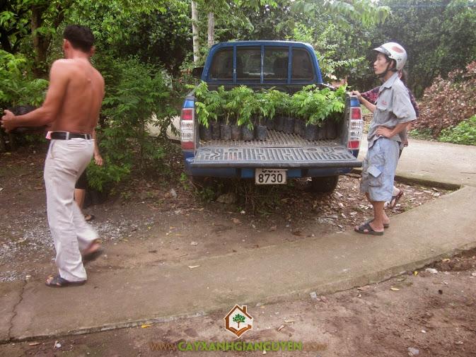 Cung cấp cây giống Sưa Đỏ cho khách hàng.