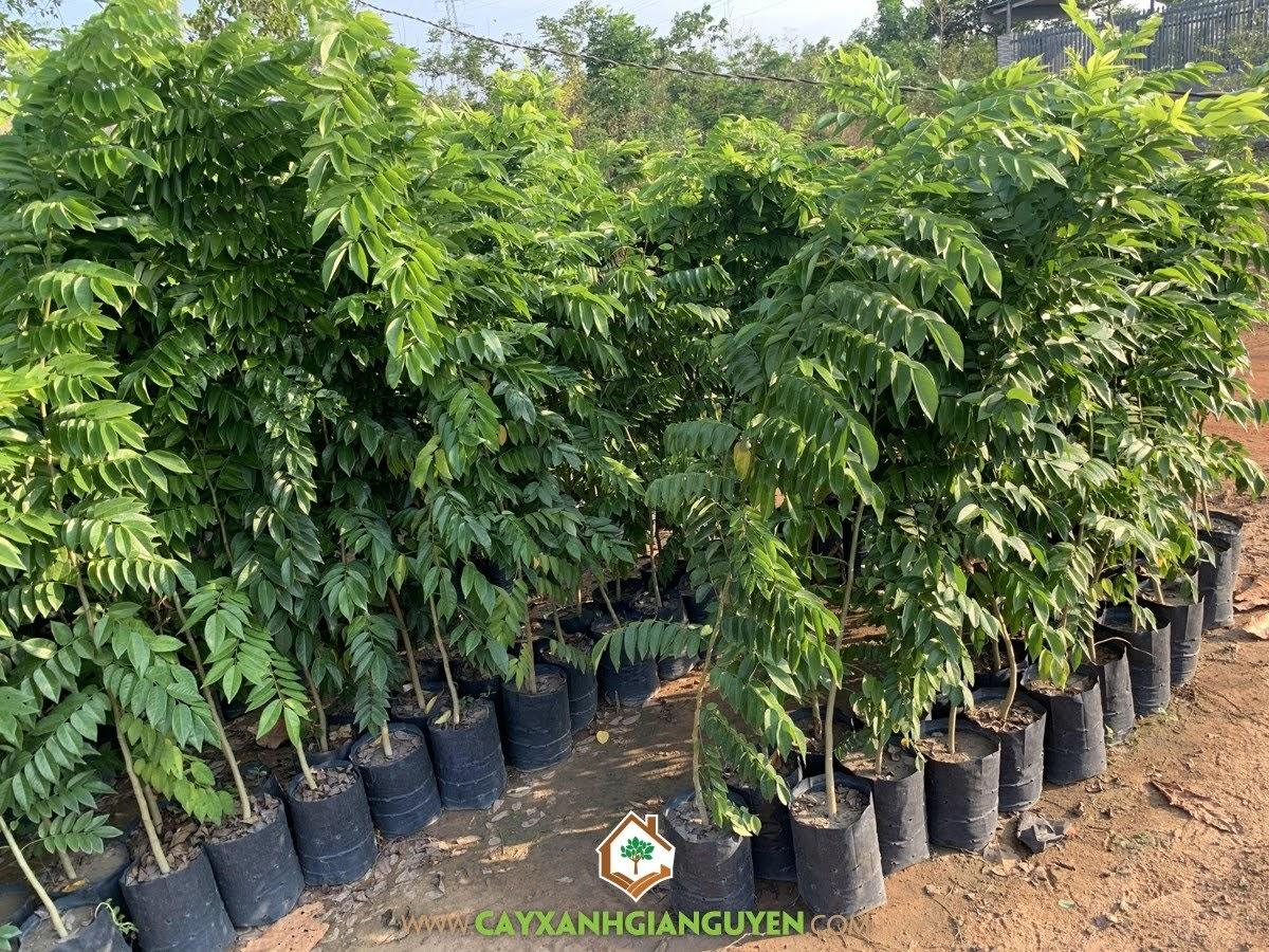 cây xanh Gia Nguyễn, cây giống, cung cấp cây giống, vườn ươm cây xanh Gia Nguyễn, cây sưa đỏ, cây giống lâm nghiệp