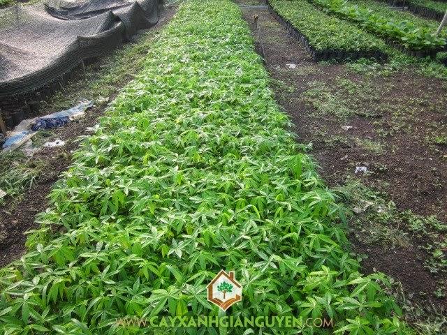 cây trôm, Cây Mủ Trôm, cây giống lâm nghiệp, cung cấp cây giống, vườn ươm cây xanh Gia Nguyễn