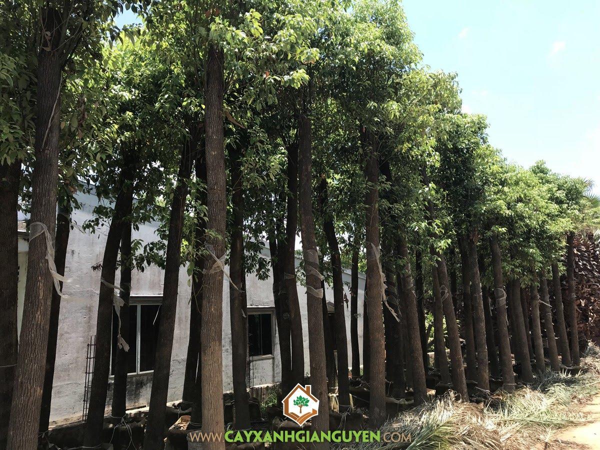 cây giống lâm nghiệp, cây Long não, dã hương, rã hương, tinh dầu long não