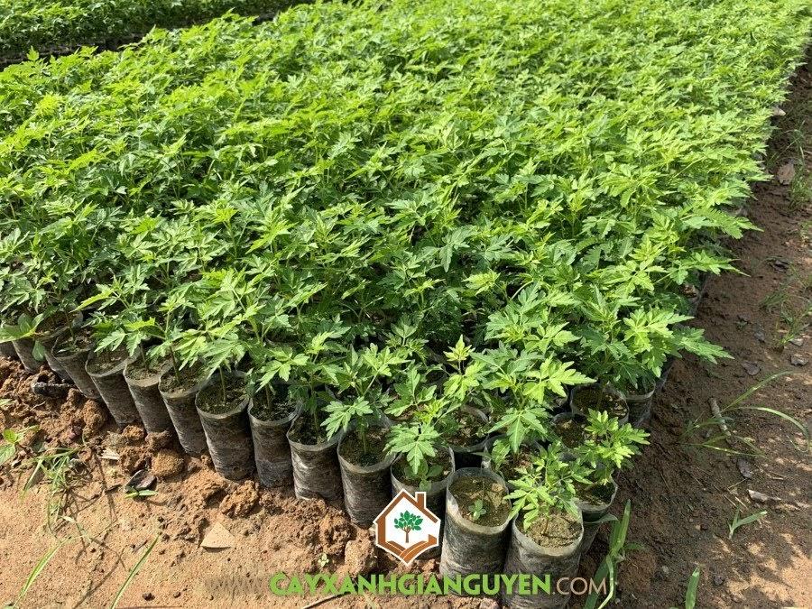 cây xanh Gia Nguyễn, cây xoan đào, cây giống, cung cấp cây giống, cây giống lâm nghiệp, vườn ươm cây xanh Gia Nguyễn
