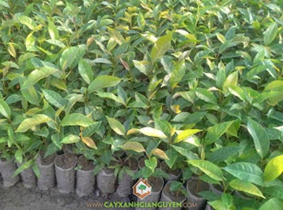 cây xanh Gia Nguyễn, cây giống, cây giống lâm nghiệp, cây lâm nghiệp, cung cấp cây giống, cây dái ngựa, vườn ươm cây xanh Gia Nguyễn