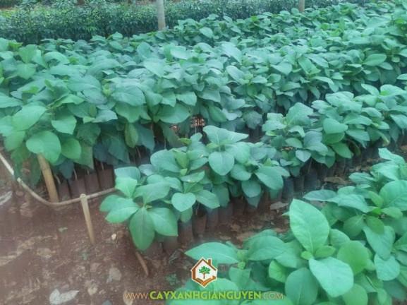 cây xanh Gia Nguyễn, cây giá tỵ, cung cấp cây giống, cây giống lâm nghiệp, vườn ươm cây xanh Gia Nguyễn, cây lâm nghiệp