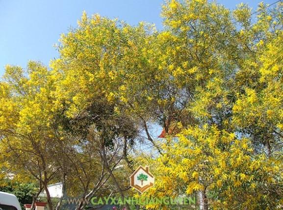 cây xanh Gia Nguyễn, cây giống, cung cấp cây giống, cây lâm nghiệp, cây keo lá tràm, vườn ươm cây xanh Gia Nguyễn