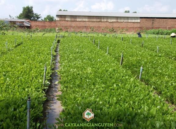cây keo lai, cây xanh Gia Nguyễn, cung cấp cây giống, cây giống, cây keo lai, cây giống lâm nghiệp, vườn ươm cây xanh Gia Nguyễn, cây lâm nghiệp